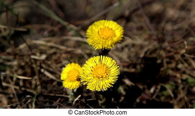 Yellow coltsfoot flower on the ground waving on the breeze...