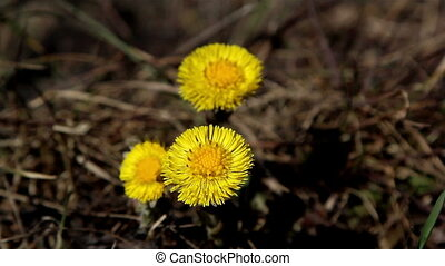 Three flowers of coltsfoot plant