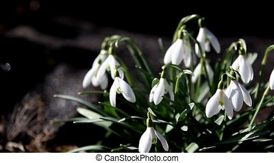 Pretty snowdrop plants - Pretty white snowdrop plants waving...