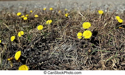 Lots of yellow coltsfoot on the ground - Lots of yellow...