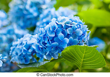 Hydrangea flowers - Many blue hydrangea flowers growing in...