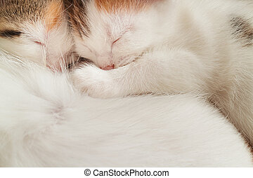 Two sleeping kitten - Two kittens asleep on his belly mom...