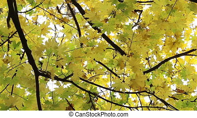Autumn Leaves Falling Over Viewer - Dried yellow maple...