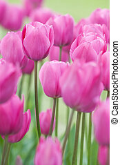 Pink tulips on a field close up shoot
