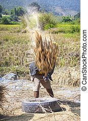 The unidentified farmers harvesting rice from terraced rice...