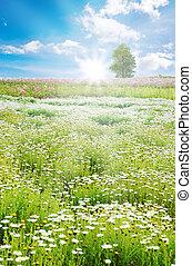 Sunrise in Spring field, daisy flowers