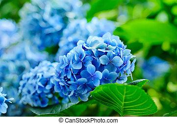 Hydrangea flowers - Many blue hydrangea flowers growing in...