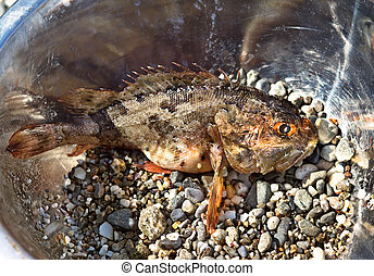 Fresh scorpion-fish Scorpaenidae caught in a bowl, sea food...
