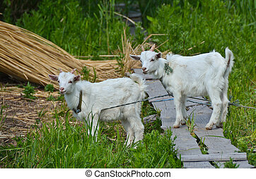 Two goats baby on the grass - Two goats baby on the green...