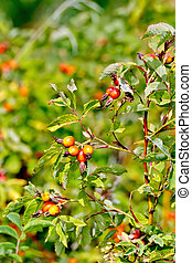 Rosehip berries on a bush - Branch with red berries of wild...