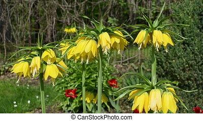 Fritillary spring flower - Fritillary (Fritillaria)...