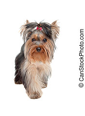 Yorkshire Terrier - Small Yorkshire Terrier puppy - best...