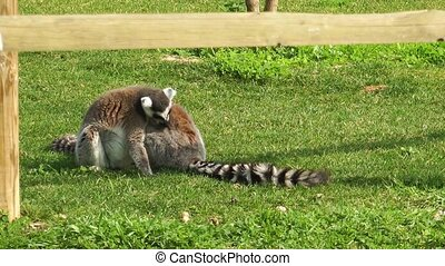 Lemur on the grass