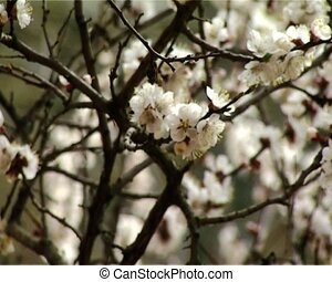 blossom apricot - close-up blossoming apricot-tree vertical...