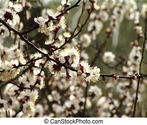 blossom apricot - close-up blossoming apricot-tree zoom out