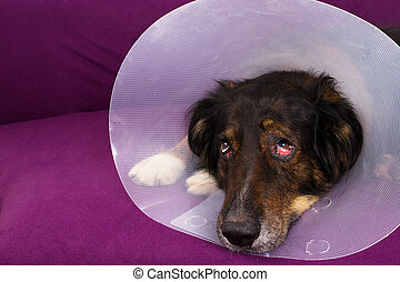 Suffering dog - Dog with eye injury