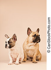 French bulldogs laying on beige background - French bulldogs...