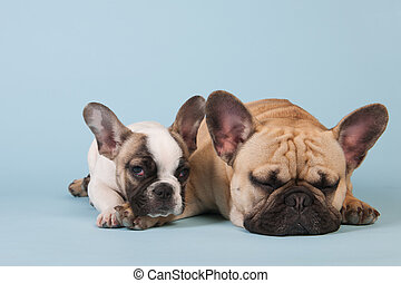 French bulldogs laying on blue background - French bulldogs...