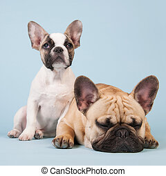 French bulldogs together on blue background - French...