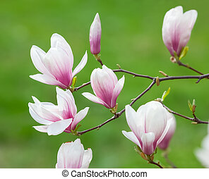 magnolia flowers - Soft focus image of blossoming magnolia...