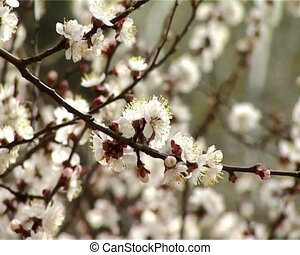 blossom apricot - close-up blossoming apricot-tree recofuse