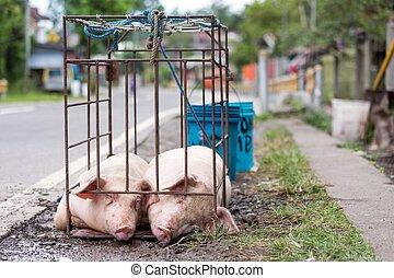 cochons,  cage, deux