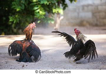 Fighting cocks in a vicious attack, traditional east asian...