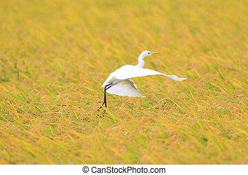 Eastern Cattle egret Bubulcus ibis flying in Japan