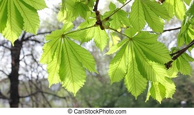 Horse Chestnut tree leaves