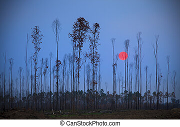 sun set behind eucalyptus dry tree plant use for natural...