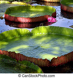lotus leaf - Big lotus leaf in pond