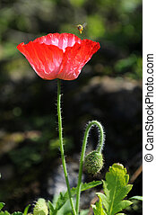 Opium Poppy - Red opium Poppy is blooming