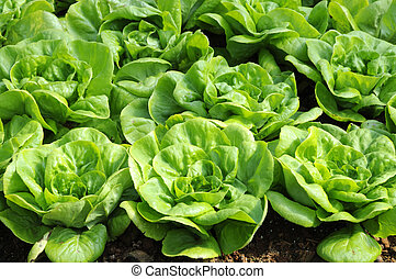 Butterhead lettuce - Plot Butterhead lettuce on a field