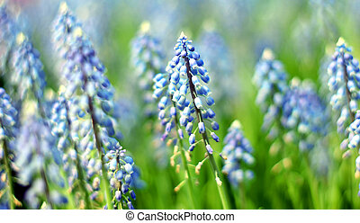 Bluebells (Grape Hyacinth, Muscari armeniacum)