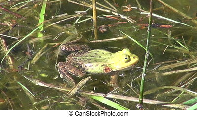 green frog croaking in spring lake water
