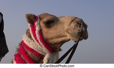 camel head on blue sky background in India