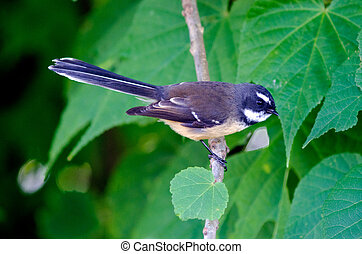 New Zealand Fantail sit on a tree branch