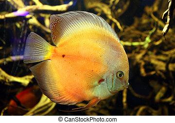 Exotic aquarium fish - Orange fish discus at home aquarium