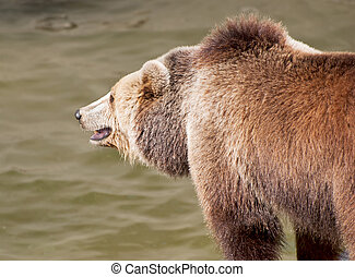Brown bear catches fish - Brown bear (Ursus arctos arctos)...