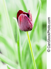 Beautiful single tulip on the green background.