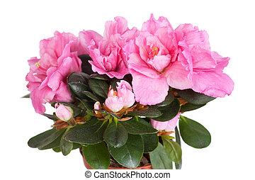 florescer, Cor-de-rosa, azaléia, branca, fundo