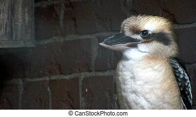 Kookaburra - Laughing Kookaburra Bird
