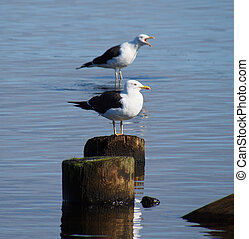 Black-headed gulls on old pilings in the lake