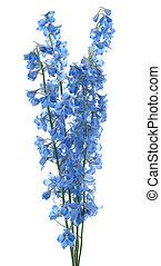 delphinium - Studio Shot of Aqua Colored Delphinium Flowers...