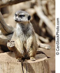 Meercat sitting on a tree stump