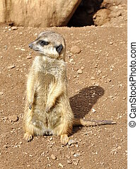 Meercat sitting on the ground