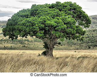Tree on Ethiopian plain.