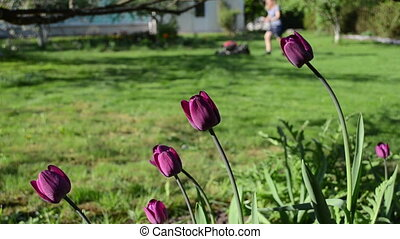 flower woman work garden - purple tulip flowers and blurred...