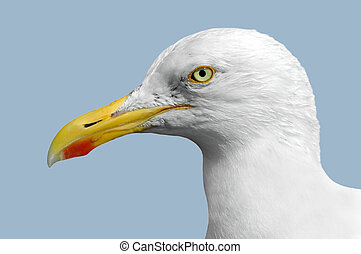 Isolated Portrait of Seagull