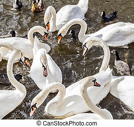 Swan in Alster river - beautiful white Swan in Alster river...